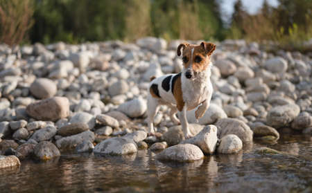 Small Jack Russell terrier walking by the river, her fur wet from swimming, one leg up, looking curious