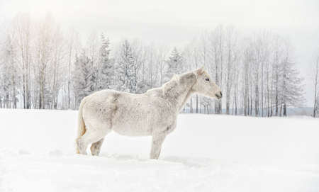 White horse standing on snow field, side view, blurred trees in background