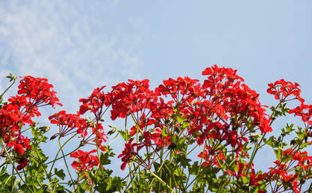 Pink red pelargonium flowers with clear sky background 版權商用圖片
