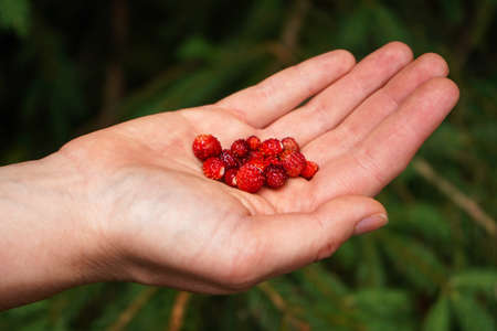 Hand holding freshly harvested small forest strawberries, blurred trees in background 版權商用圖片