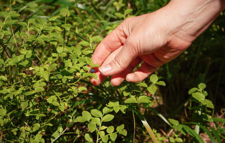 Hand picking up single blueberry from sun lit shrub in forest, closeup detail