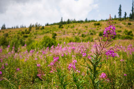 Pink purple fireweed - Chamaenerion angustifolium - flowers growing in forest meadow, blurred trees and grass background