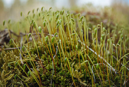 Fine green moss growing in forest, closeup macro detail, abstract natural background