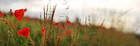 Wild red poppy flowers wide panorama, blurred overcast sky background