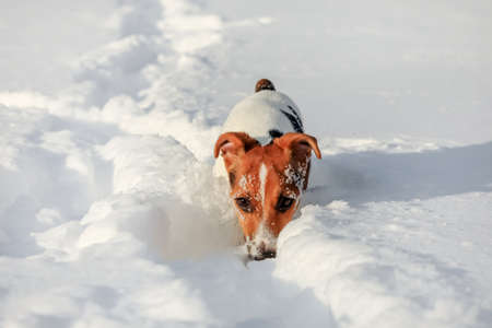 Small Jack Russell terrier wading through deep snow, ice crystals on her nose.