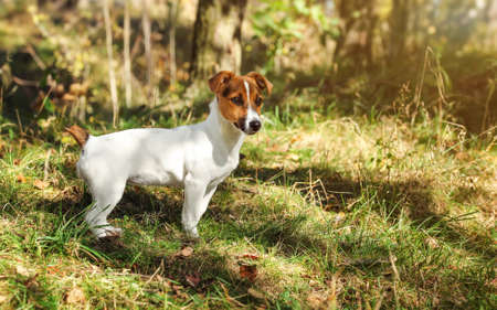Small Jack Russell terrier in low forest grass, sun shines on her