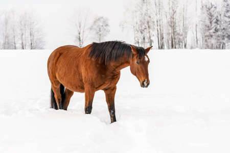 Brown horse wades through snow in winter, blurred trees in background