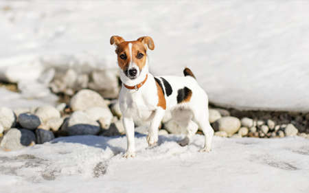 Small Jack Russell terrier standing on the snow, one leg up, lit by sun, some rocks visible under ice behind her. Stock fotó