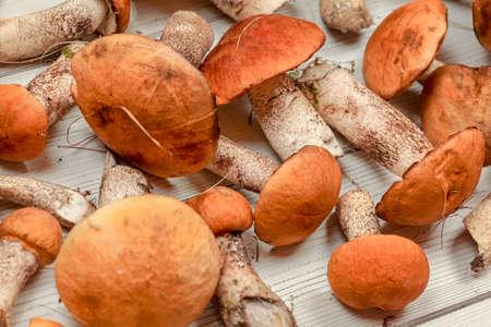 Closeup of freshly picked forest mushrooms (orange scaber stalk variety) on white boards desk.