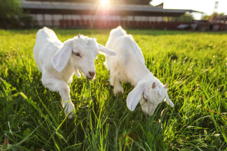 Two white goat kids grazing on spring meadow, wide angle photo with sun backlight farm in background.