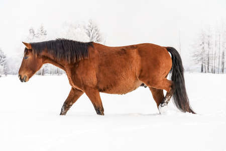 Brown horse wading through snow in winter, blurred trees in background, side view