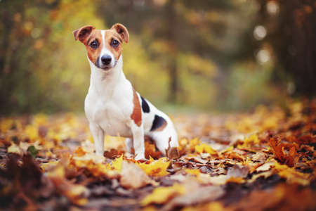 Small Jack Russell terrier sitting on forest path with yellow orange leaves in autumn, blurred trees background