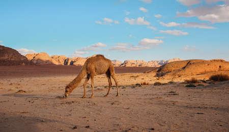 Camel walking on orange red sand of Wadi Rum desert, mountains background