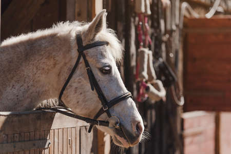 White Arabian horse with brown spots, detail - only head visible out from wooden stables box