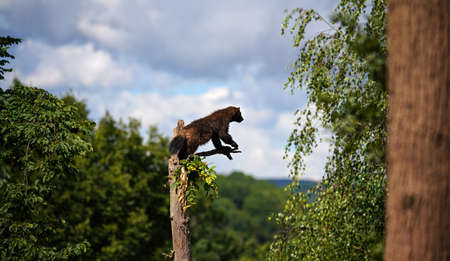 Wolverine aka wolverene - Gulo gulo - resting on top of dry tree, blurred forest and sky background Stock fotó