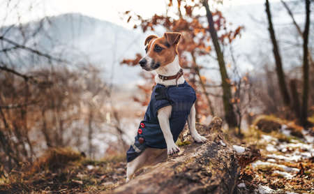 Small Jack Russell terrier in dark blue winter jacket leaning on fallen tree with grass and snow patches, blurred trees or bushes background
