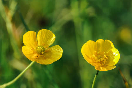 Common meadow buttercup - Ranunculus acris - bright yellow flowers, with green grass background, closeup detail Stock fotó