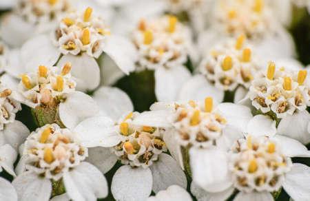 Common yarrow tiny white and yellow flowers, closeup macro detail Stock fotó