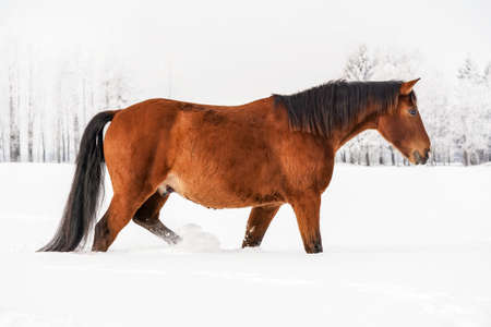 Brown horse wades through snow covered field, blurred trees in background, side view.