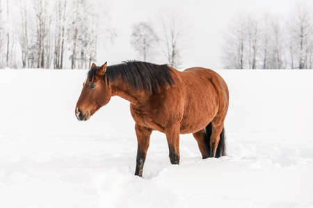 Brown horse walks on snow covered field, trees in background