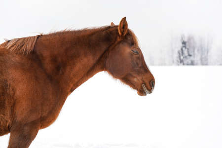 Brown horse on snow field, blurred trees in background, detail on head.