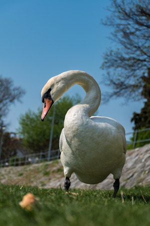 White swan is eating a bread on the green grass of the riverbank