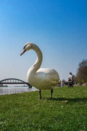 White swan is eating on the green grass of the riverbank