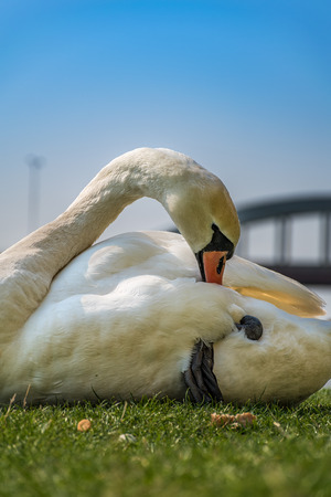 White swan cleaning and relaxing on the green grass of the riverbank Stock Photo