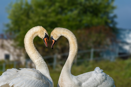 Couple of white swans on the riverbank - love and romance