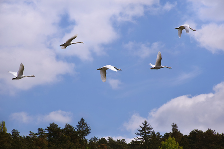 White swans flying over the trees (blue sky) Stock Photo