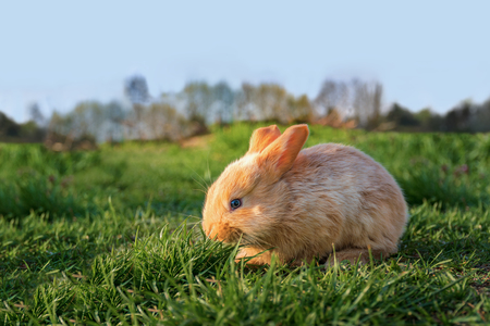 Brown cute young rabbit in the meadow (sunset) Stock Photo