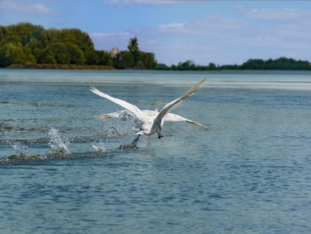 Couple of Flying white swan on the Vah River