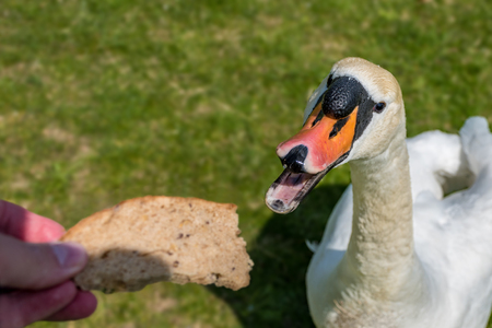 Feeding of white swan on the riverbank, hand with bread