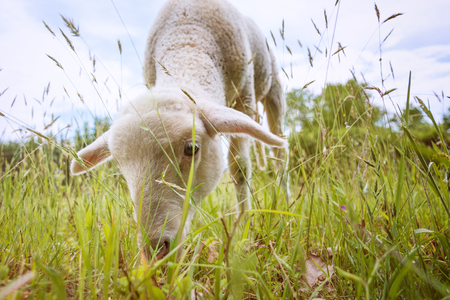 outfield: white lamb eating - standing on the grass (meadow)  Stock Photo