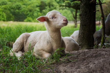 outfield: white lamb lies in the grass (meadow) near trees Stock Photo