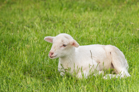 outfield: white lamb lies in the grass (meadow)