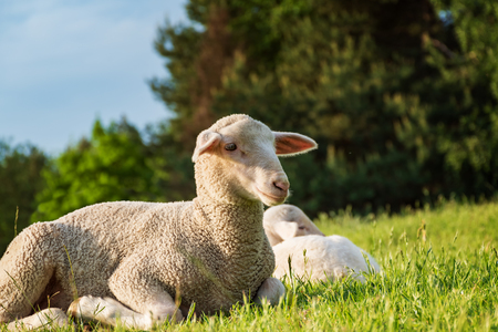 outfield: sheep and lamb in the grass (meadow)