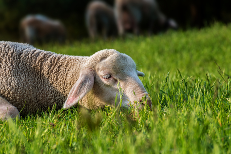 sheep lies in the grass (meadow)