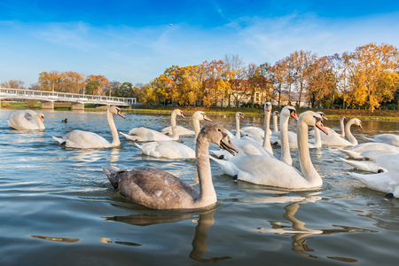 Peaceful white swans floating on the river near bridge in autumn (Piestany, Slovakia)