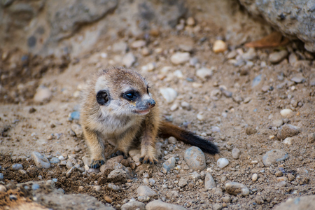 A very young suricate pup standing on the sand (Suricata suricatta