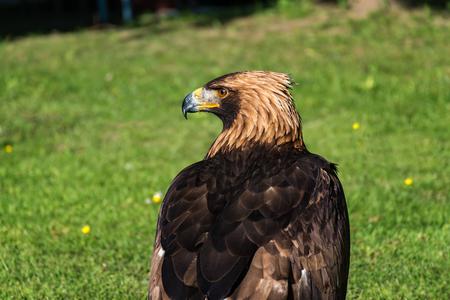 Golden eagle -  closeup portrait  (Aquila chrysaetos) Stock Photo