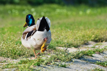 Mallard duck shitting on green grass on the riverbank