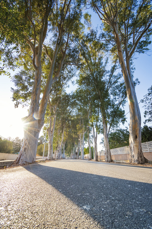 Eucalyptus street to beach in Kolymbia  (Rhodes, Greece)