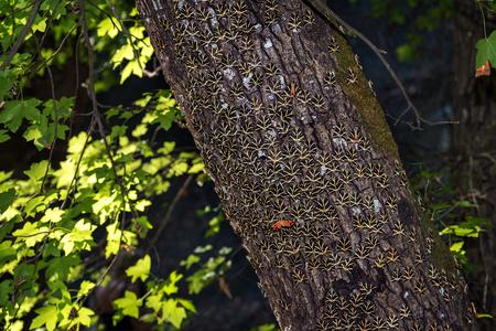 Butterflies (Jersey tiger) rest on tree trunk of sweetgum tree in Butterfly valley (Rhodes, Greece) 免版税图像