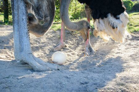 Ostrich (Struthio camelus) takes care of their egg in nest