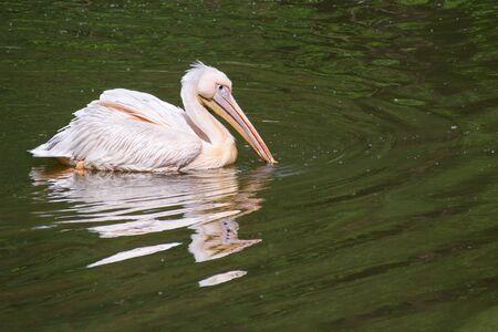 Dalmatian pelican (Pelecanus crispus) floats with its beak in river