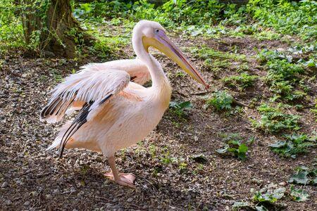 Dalmatian pelican (Pelecanus crispus) stays on ground with unfolded wings  Stock fotó