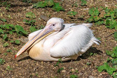 Dalmatian pelican (Pelecanus crispus) sits on ground with wings folded