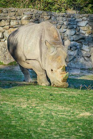 Square-lipped rhinoceros (Ceratotherium simum) eats grass