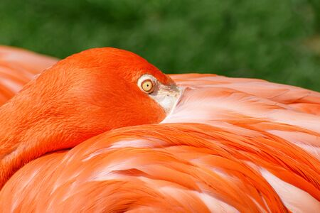 Close-up view of head of American flamingo (Phoenicopterus ruber) with its beak under wing Stock fotó
